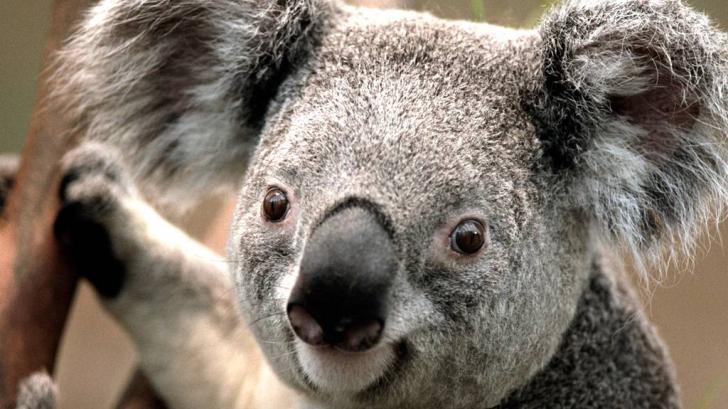 ใครจะไปเชื่อ ว่าหมีโคอาล่าวิ่งเร็วเท่ารถมอเตอร์ไซด์ - มีคลิป