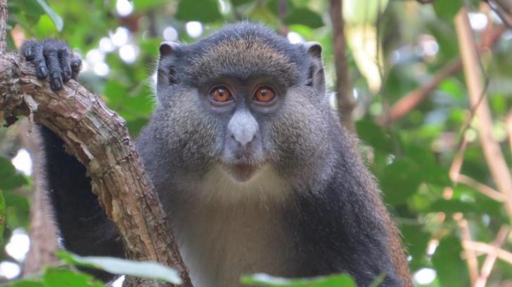 นักวิจัยพบลิงผสมพันธุ์ข้ามสายพันธุ์ คาดว่าอาจเป็นเพราะความต้องการทางเพศสูง
