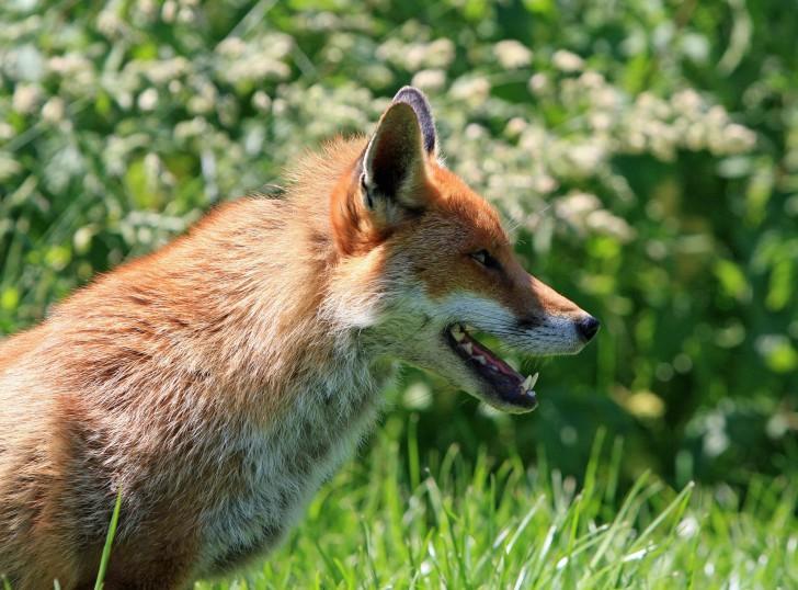 สุนัขจิ้งจอก อาจกลายเป็นสัตว์เลี้ยงชนิดใหม่ของมนุษย์ ผลจากการพัฒนาสายพันธุ์กว่า 60 ปี