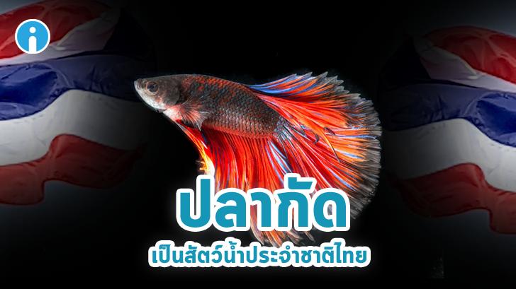 รู้หรือยัง? ปลากัด ถูกยกให้เป็นสัตว์น้ำประจำชาติไทยแล้ว