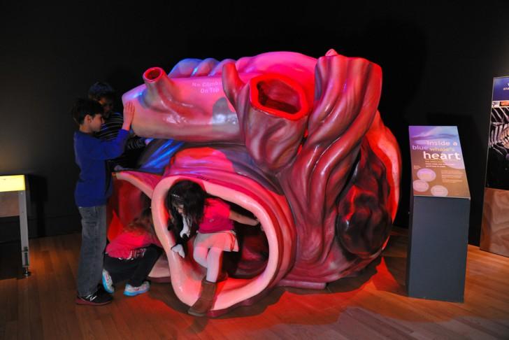 คนไทยมีหัวใจ 4 ห้อง แต่ปลามีหัวใจแค่ 2 ห้อง และหัวใจของวาฬใหญ่เท่ารถคันเล็กๆ