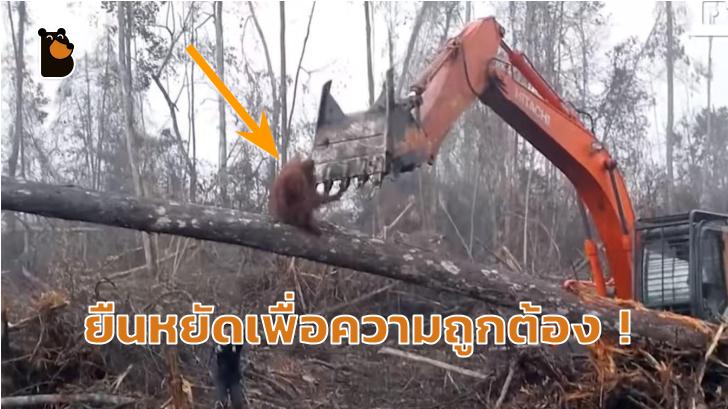 ยืนหยัดเพื่อความถูกต้อง! อุรังอุตัง ต่อสู้กับมนุษย์ที่โค่นล้มต้นไม้ ที่เป็นบ้านของพวกมัน